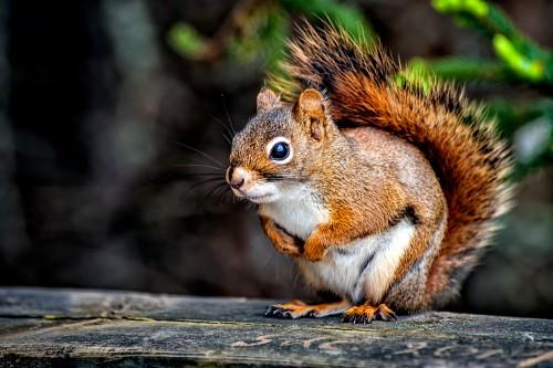 ecureuil-aux-aguets